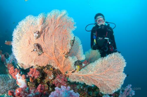 Fan Corals and Diver, Richelieu Rock, Similan Islands, Thailand
