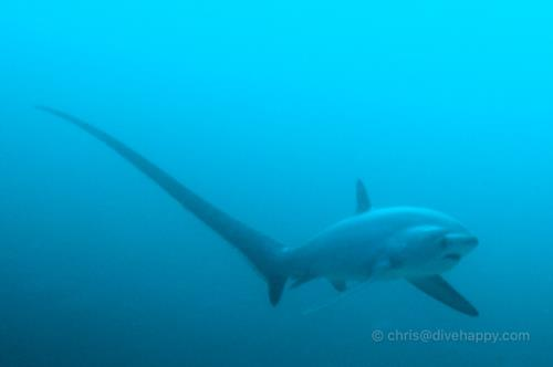 Thresher Shark, Malapascua