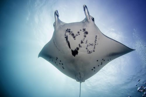 Manta Ray Sanctuary