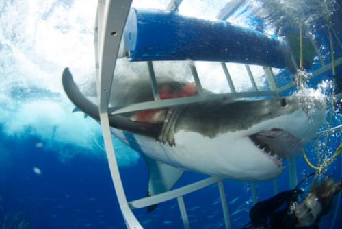 Close Encounter with a Great White Shark!