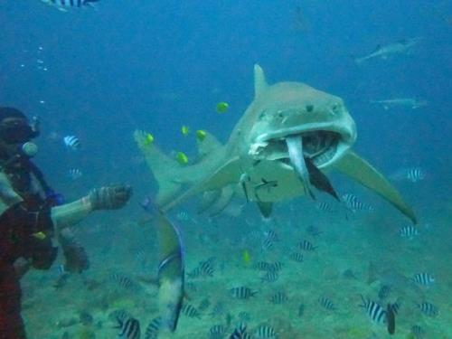 The ultimate shark encounter at Beqa Lagoon, Fiji!