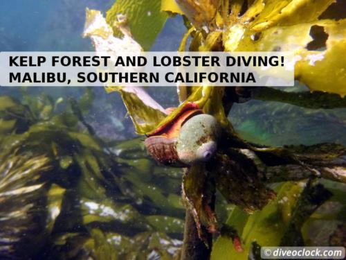 Kelp forests and lobster diving in Malibu, California!