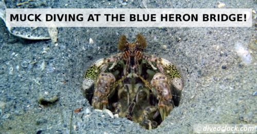 Muck diving at the Blue Heron Bridge in Florida!