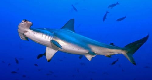 Los Cabos - Dive with Fascinating Hammerhead Sharks at Gordo Banks (Mexico)