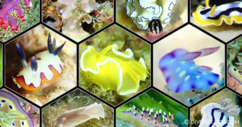 100 Stunning Nudibranchs of Anilao - Nudibranch Capital of The World