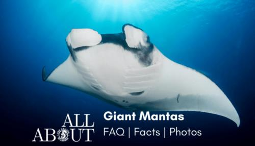 All you ever wished to know about Giant Oceanic Manta Ray: FAQ, factsheet