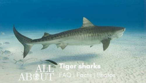 All about tiger sharks