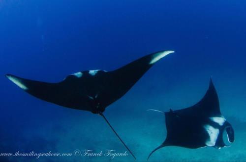 Andaman Sea rays