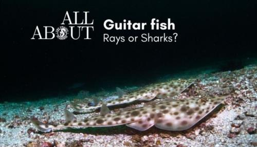 Rhinobatis: the Shark - Ray guitar shaped fish