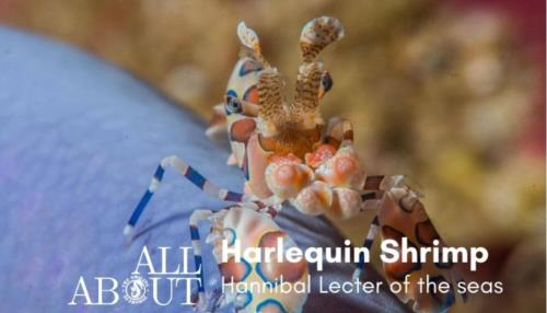 Harlequin shrimp life and behavior