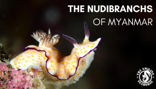 Welcome to the vibrant world of nudibranchs