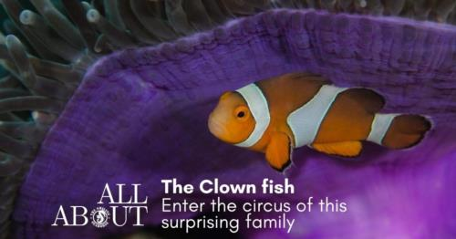 Enter the circus of the amazing clownfish