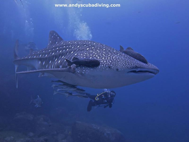 Richelieu Rock - Whale Shark at Richelieu Rock 2013