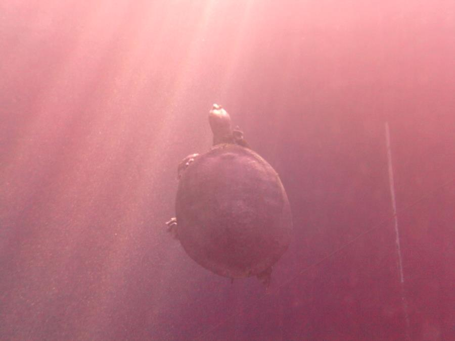 Blue Grotto Dive Resort - Holy Turtle