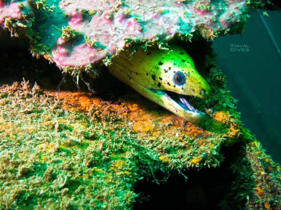 Malapascua - Golden Moray