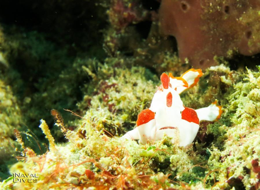 Malapascua - Cute Frog Fish
