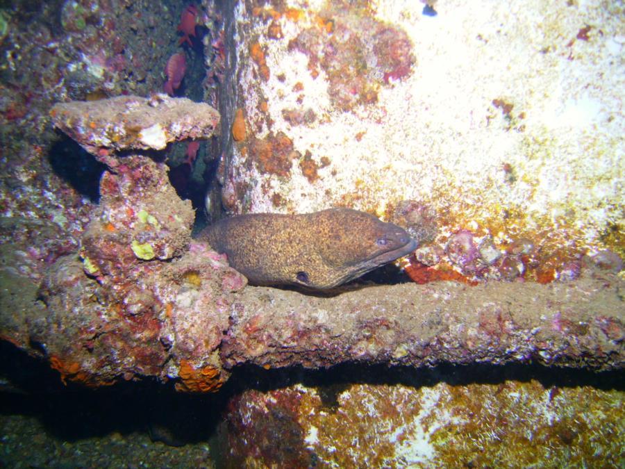 Sea Tiger - Eel on the Sea Tiger