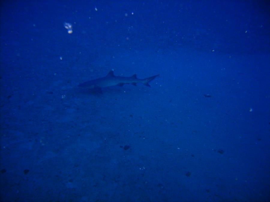 Sea Tiger - WhiteTip Shark