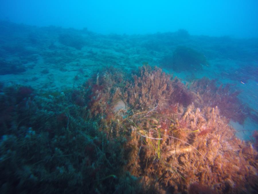 LaJolla Shores - Coral