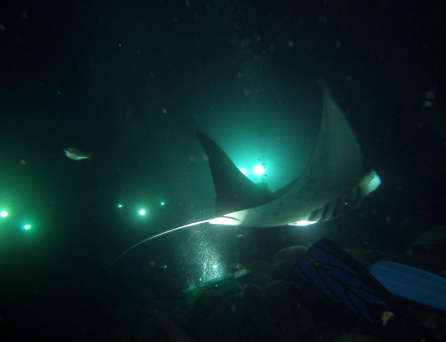 Garden Eel Cove - Manta Rays!