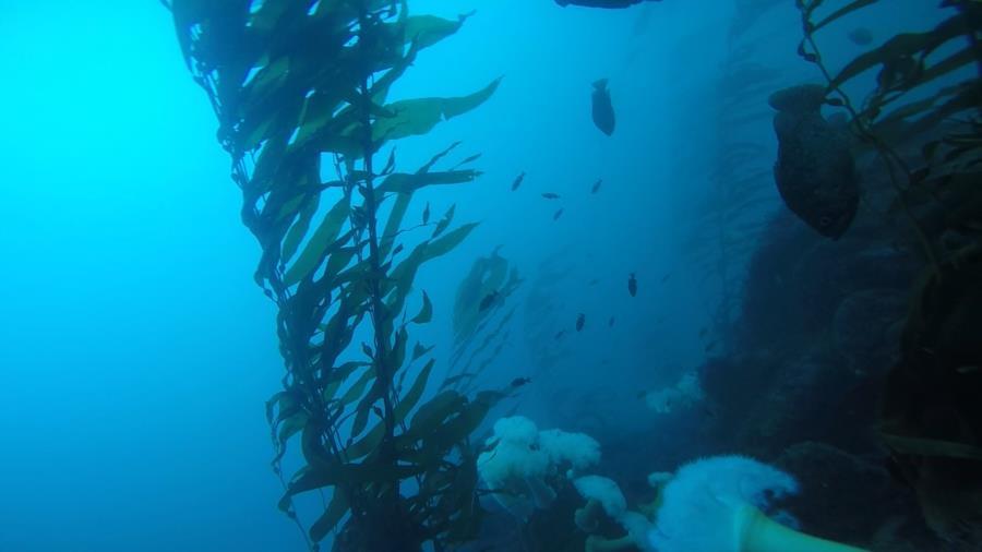 Metridium Fields - Black perch, metridium & kelp