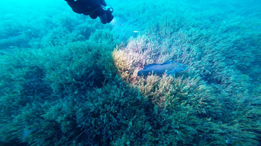 Metridium Fields - Kelp Greenling