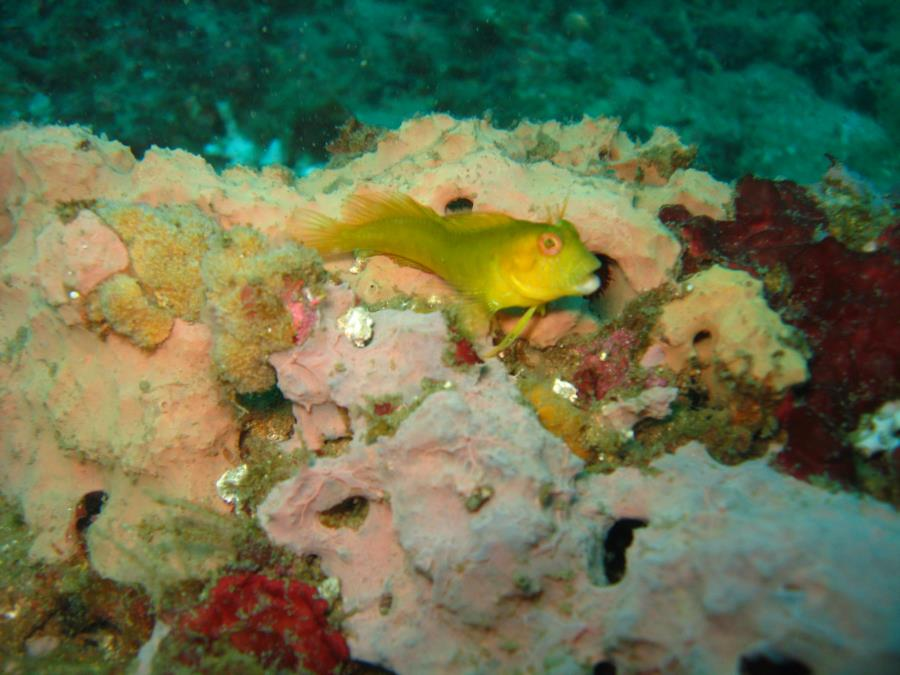 Tiners Reef - Yellow Blenny 9-6-09 Tiner Reef