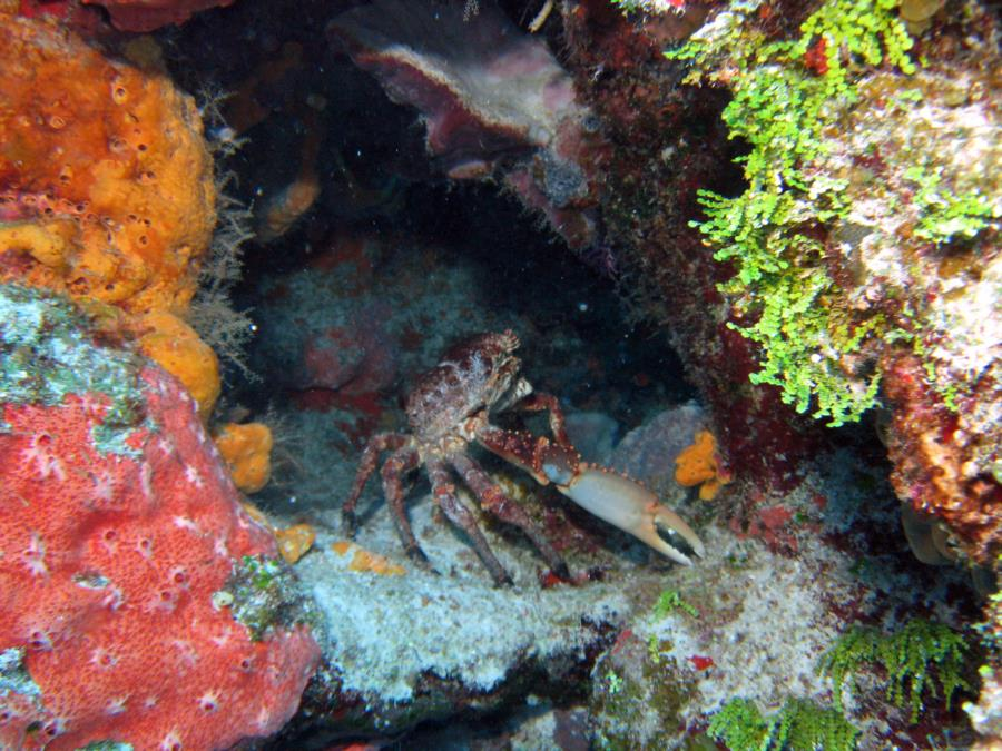 Santa Rosa Wall - Crab-Santa Rosa Wall 12-4-09