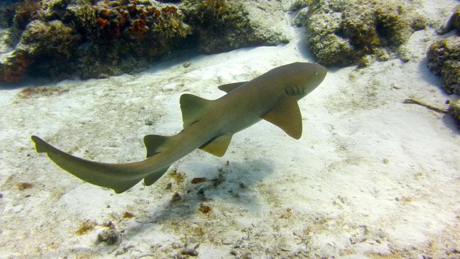Santa Rosa Shallow - Nurse Shark