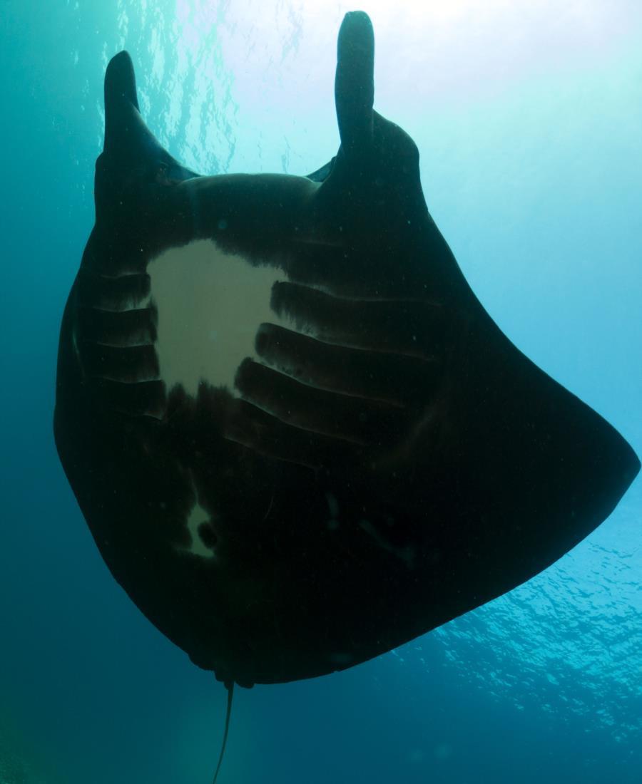 Komodo National Park - Melanistic Reef Manta (Manta Alfredi)