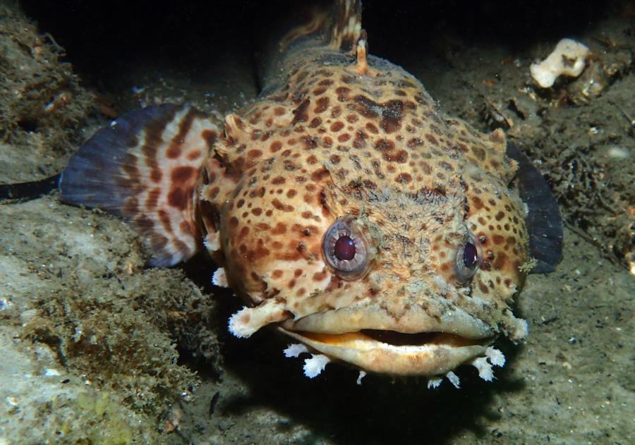 St Andrews State Park Jetties - Gulf side - Leopard Toadfish