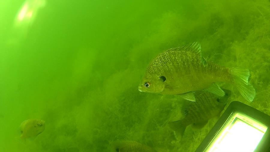 Wheeler Branch Lake - Emergency Fish Board Meeting
