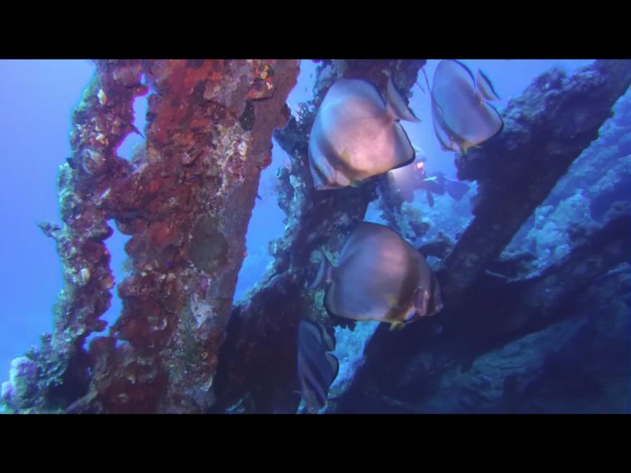 P&O Carnatic - Batfish in the carnatic wreck