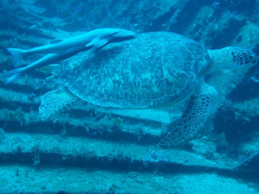 Governor's River Walk, Gilbert Sea, ShaSha Boekani - Big turtle with 2 Remora