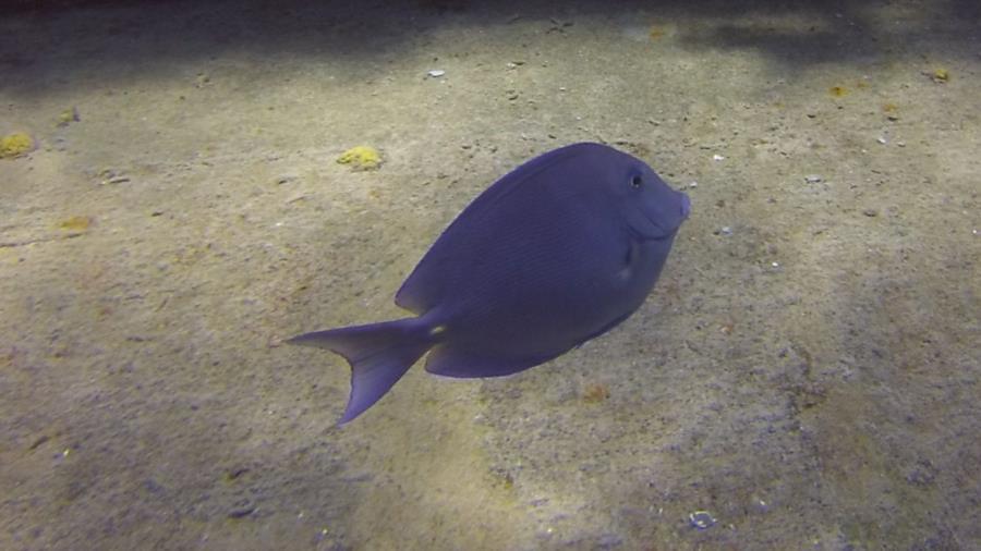 Kittiwake - Kittiwake surgeon fish