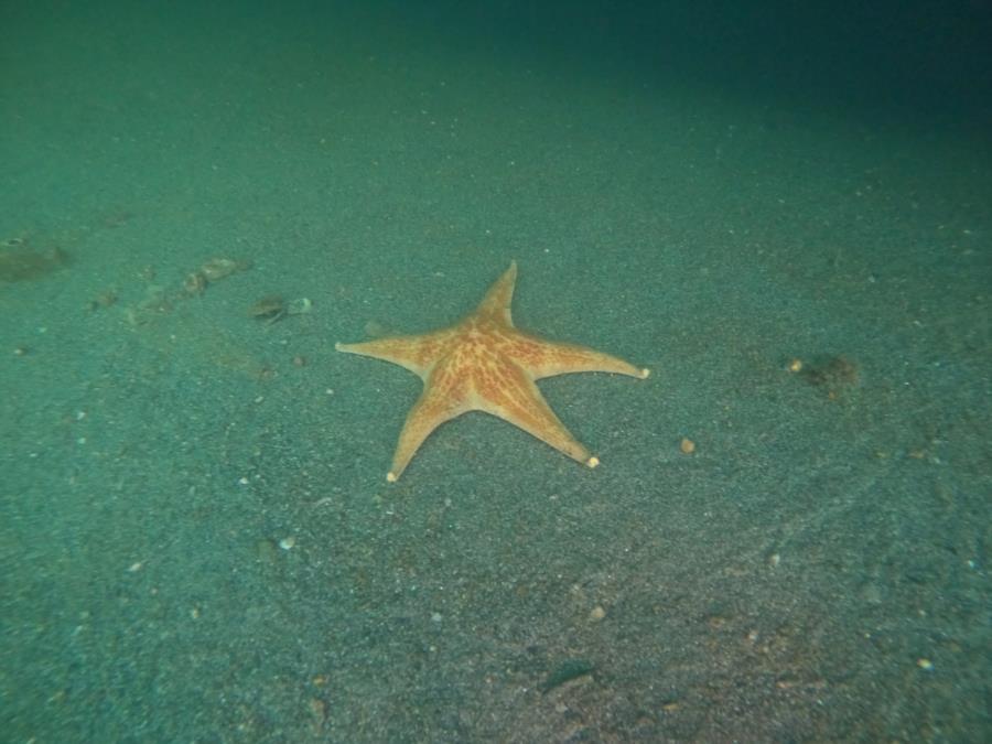 Fox Island - star fish