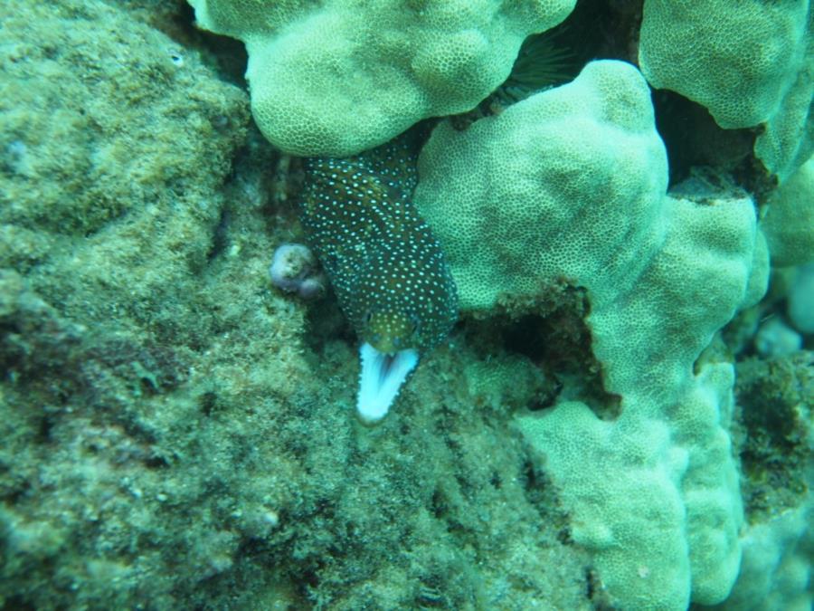 Koloa Landing - White mouth eel
