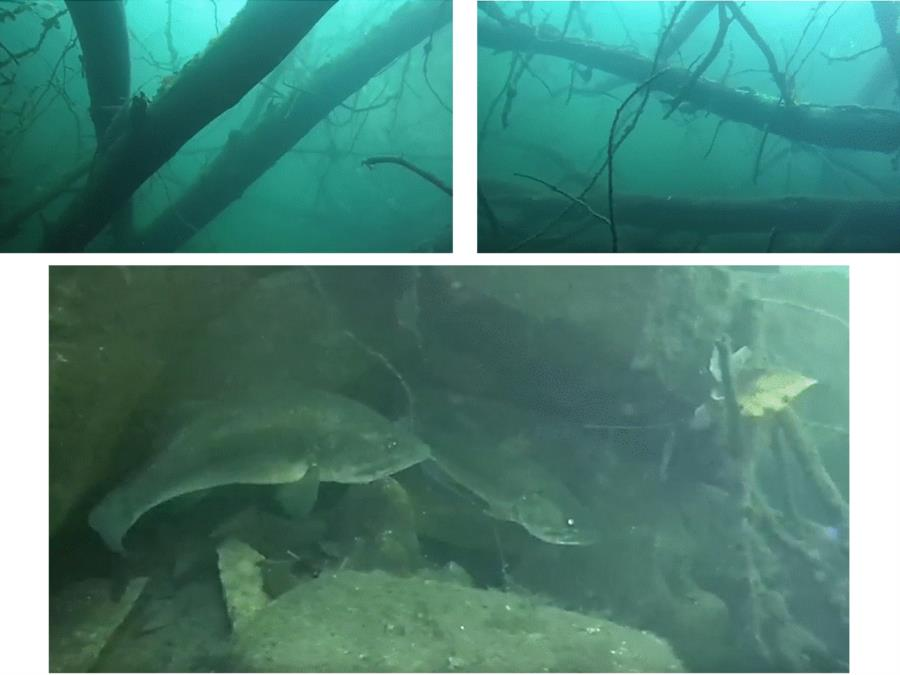 Rappahannock/Fredericksburg Quarry - Submerged trees and Largemouth Bass
