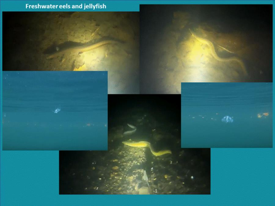 Rappahannock/Fredericksburg Quarry - Freshwater eels and jellyfish