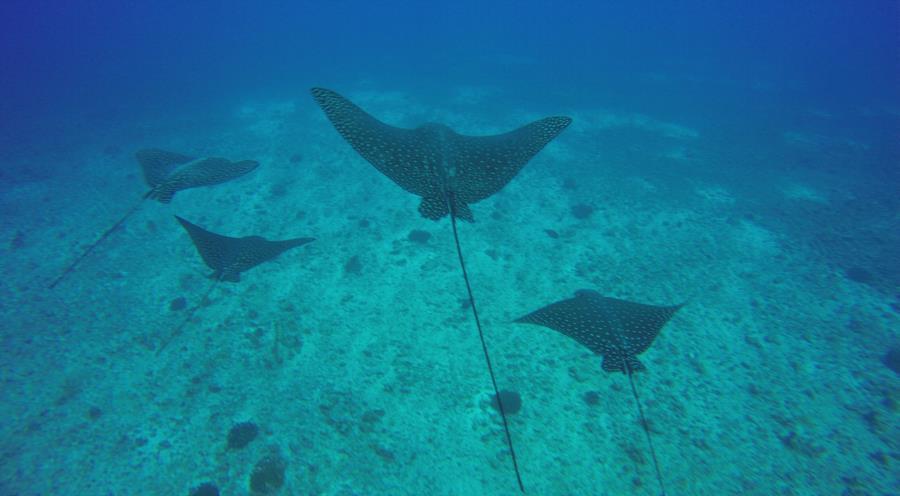 Fish Rain - Eagle rays at Fish Rain