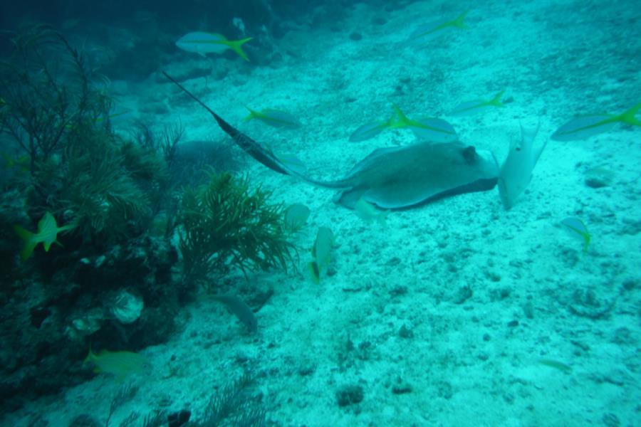 Eagle Ray Alley, Molasses Reef - STINGRAY MOLASSES REEF