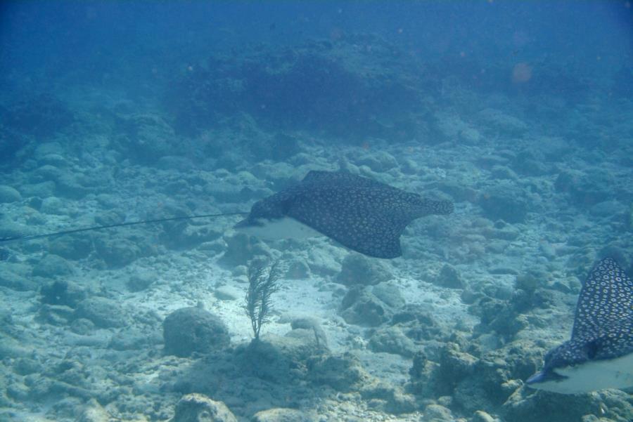 Eagle Ray Alley, Molasses Reef - Eagle Ray