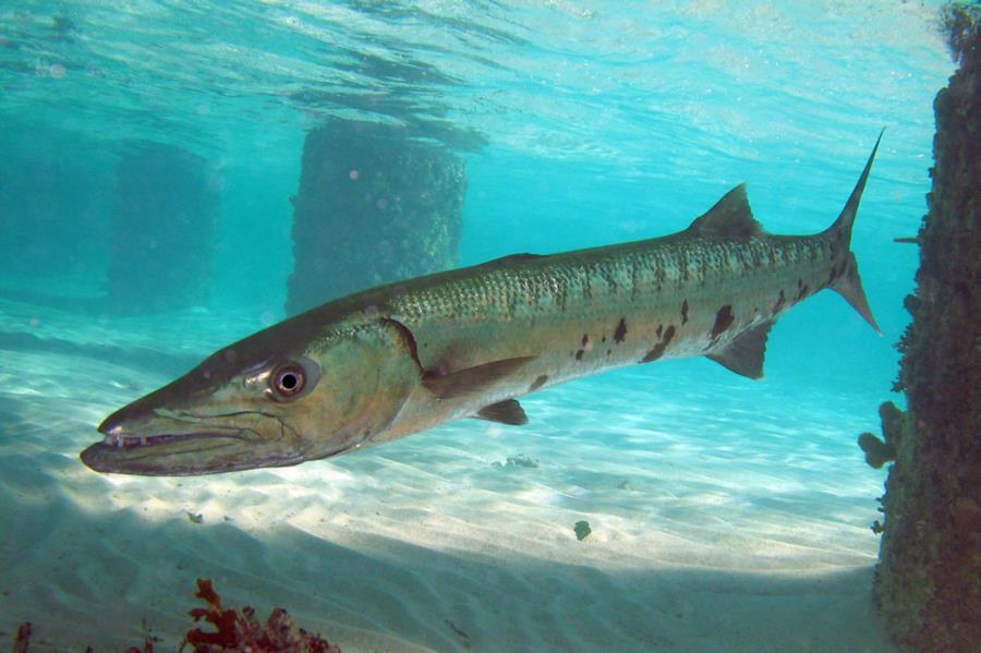 Barracuda Bite - Barracuda Bite