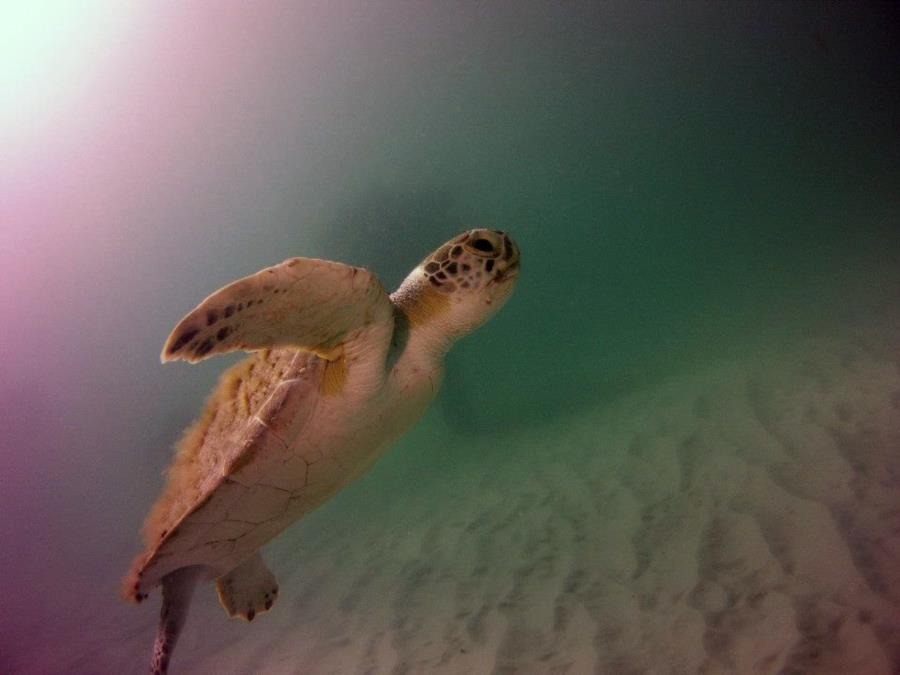 Navarre Marine Sanctuary - Turtle at Navarre Reef