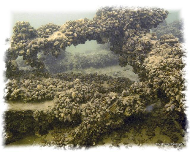 J.C. Morrison Wreck in Lake Simcoe - Zebra mussels on JC Morrison wreck