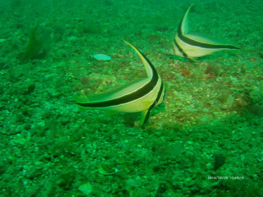 F101 Voodoo Jets (a.k.a. Seltzer Reef) - F101 Voodoo - Fish 1