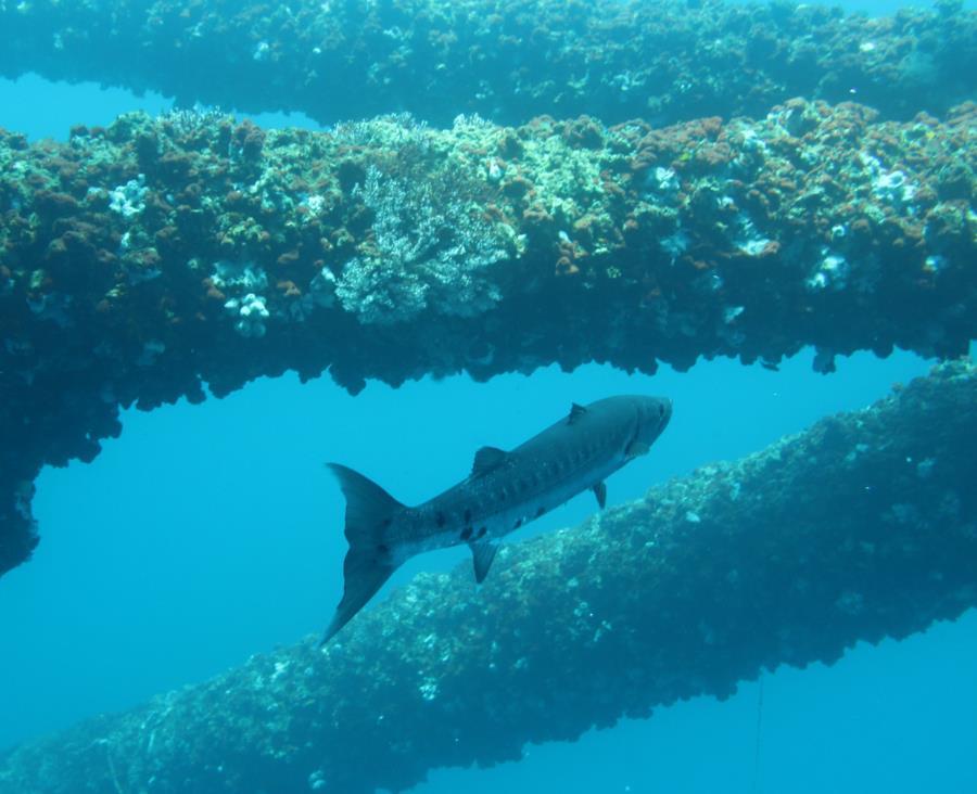 Rig JA-424 - Barracuda stalking Lure