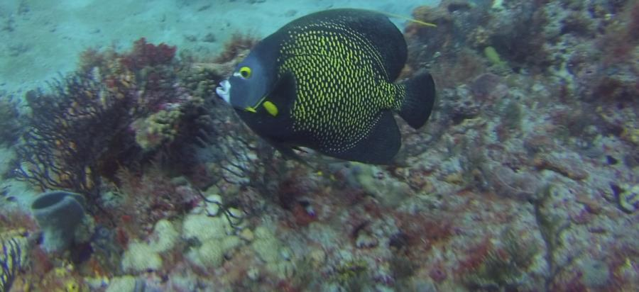 Breakers North - French Angelfish at Breakers North 9/2014