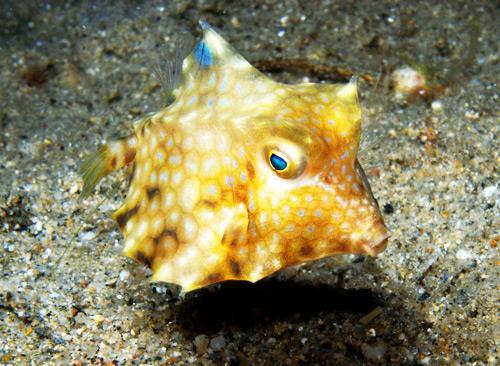 Verde Island Dive Site - Cowfish