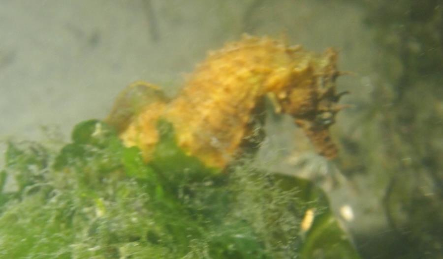 Maclearie Park, Shark River - Yellow seahorse in Maclearie Park
